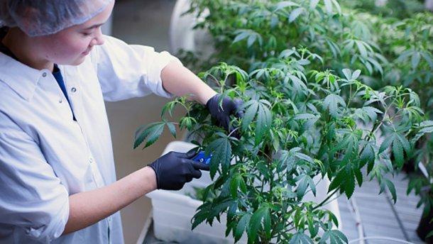 В Україні стартував збір підписів на підтримку легалізації марихуани