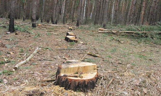 Ніякої совісті! На Закарпатті рубають ліс навіть у заповідній зоні