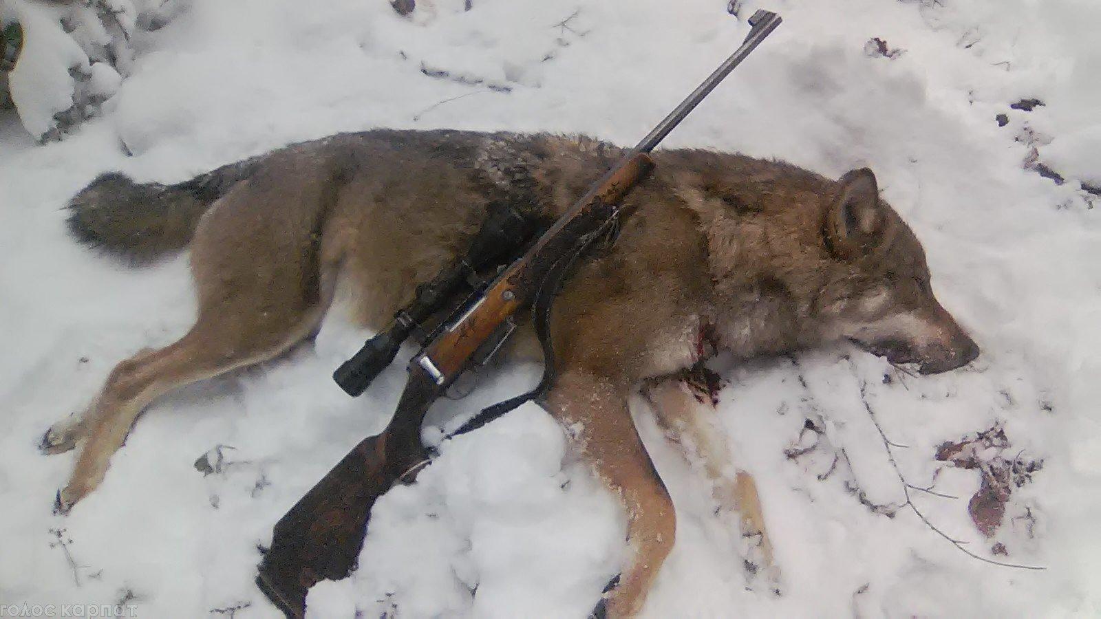 Житель Мiжгiрщини вполював вовка (ФОТО)