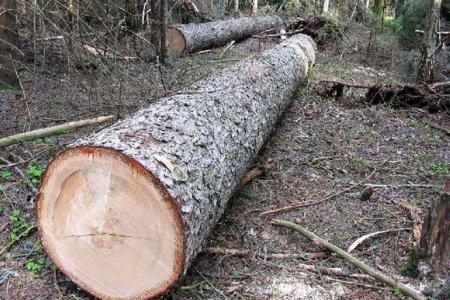 Екоінспекція у Закарпатській області попереджає про штрафи за самовільну вирубку хвойних дерев