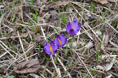 У тячівському парку почали квітнути шафрани (ФОТО)