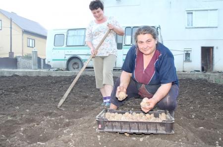 На Тячівщині стартувала пора посадки картоплі (ФОТО)