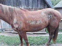 Стало відомо, яке покарання «світить» екс-помічнику лісничого за жорстоке знущання над конем у селі на Закарпатті
