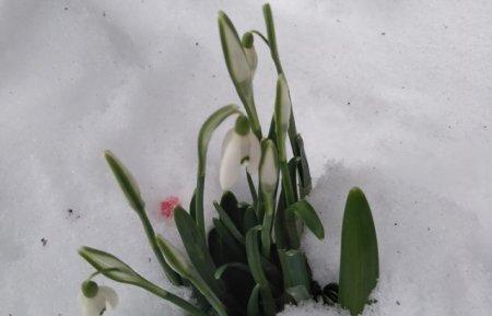 Природні аномалії: на Синевирі розцвіли підсніжники (ФОТОФАКТ)